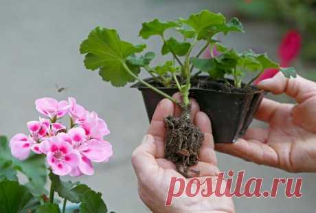 Черенкование и выращивание зональных пеларгоний