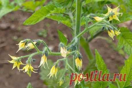 КАК ПРЕДУПРЕДИТЬ ОПАДЕНИЕ ЦВЕТОВ ТОМАТА Пестик цветка томата находится в конусе тычинок, так что созревшая пыльца осыпается на него сразу и со временем образуется завязь. Поэтому для формирования завязи насекомые томатам не нужны, это самоопыляющиеся растения.  Если все так просто, то почему же иногда цветы усыхают, опадают или формируются пустоцветы?  Причин может быть множество. Рассмотрим самые распространенные, а так же способы чтобы это избежать.   1. Пыльца слипается и не может участвов