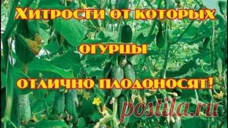 3 хитрости от которых огурцы отлично плодоносят