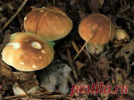 Грибы Волгоградской области: названия, карта грибных мест, фото