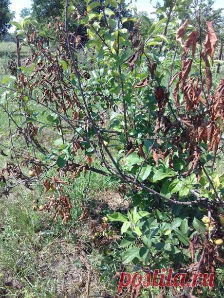 Что это с деревьями-все было хорошо -листья,плоды. ..а потом резко засохла ветка вместе с плодами. И так на абрикоса,персике и яблоне. Что это ?и как с этим бороться?