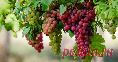 Болезни винограда: фото и чем лечить? Как облегчило бы жизнь садоводам отсутствие всяческих болезней, поражающих любимые культуры. К сожалению, от них никуда не деться — приходится только стойко и мужественно сражаться. Сегодня рассмотрим...