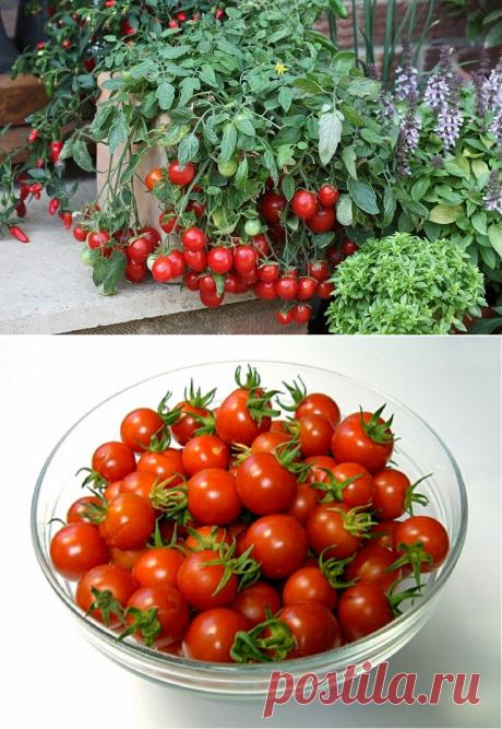 Комнатные томаты — сорта для выращивания на подоконнике