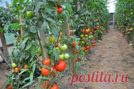 Сорта или гибриды – что подойдет именно вам, и как выбрать семена томатов для своего региона | Томаты (Огород.ru)