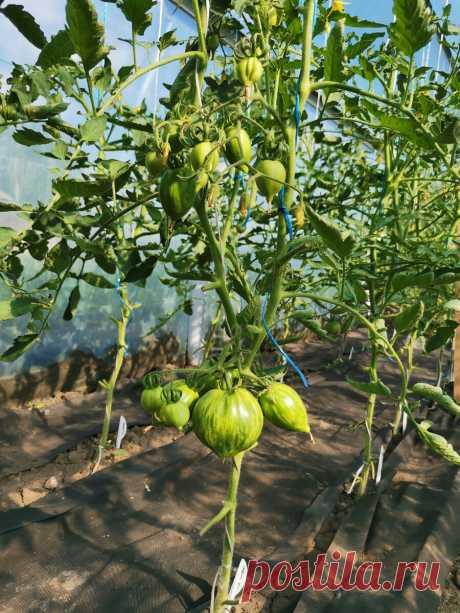 А у нас опять дождь. Как спасти томаты от болезней в такую погоду.   Огородник из Рязани   Яндекс Дзен