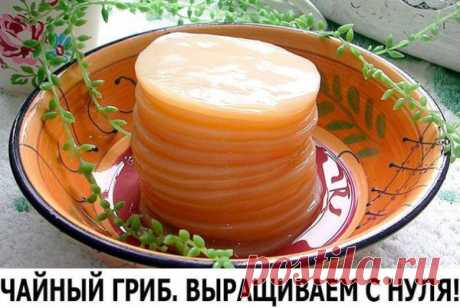 Чайный гриб: выращиваем с нуля