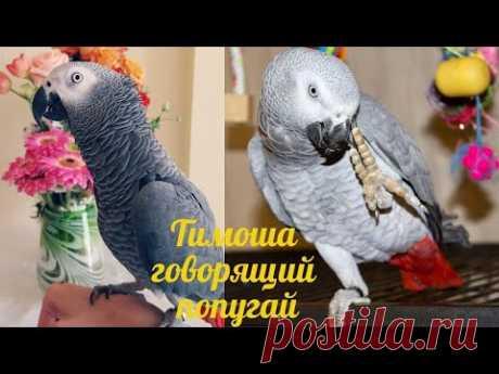Тимоша говорящий попугай, вид Жако. Подборка видео #7