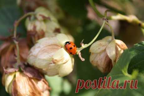 Планирую выращивать хмель для здоровья, бизнеса и красоты | Дом+ | Яндекс Дзен