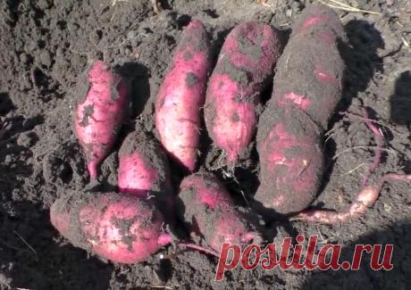 Батат — достойный конкурент картофеля. Урожай не просто устроил, а привел в восторг   Фазенда   Яндекс Дзен