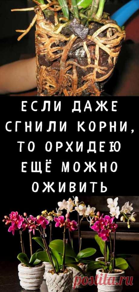 Если даже сгнили корни, то орхидею ещё можно оживить