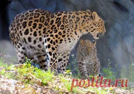 Дальневосточный леопард — один из редчайших хищников на планете. В дикой природе сохранилось не более 48-50 особей.