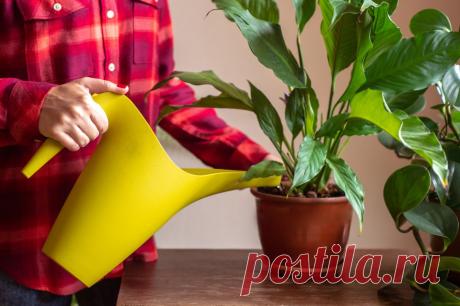 Водный режим для спатифиллума: как правильно поливать цветок «женское счастье»?   На земле инфо   Яндекс Дзен