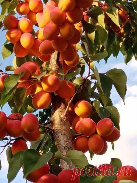 Летний урожай абрикосов в Кинель-Черкасском районе