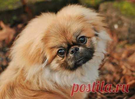 Пекинес: все о породе собак от А до Я