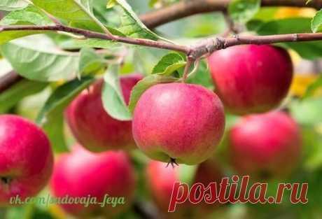 11 секретов хорошего урожая яблока .