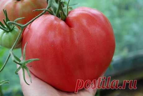 Лучшие сорта томатов для теплицы | Успешный садовод | Яндекс Дзен
