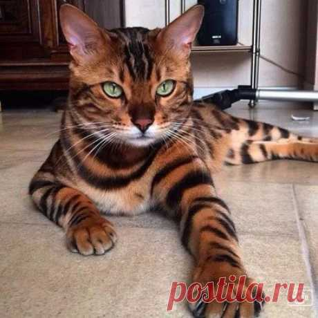 Тор — бенгальский кот