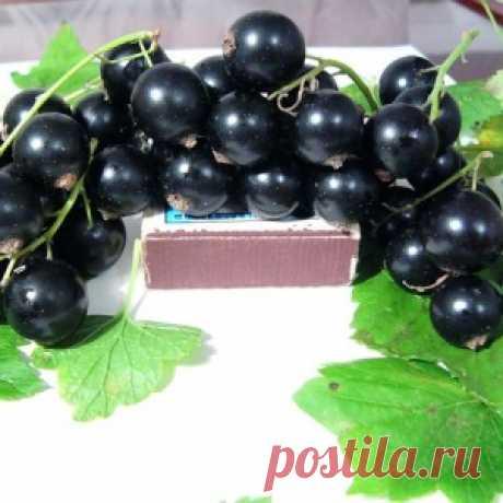 6 простых секретов получения крупных ягод смородины - МирТесен