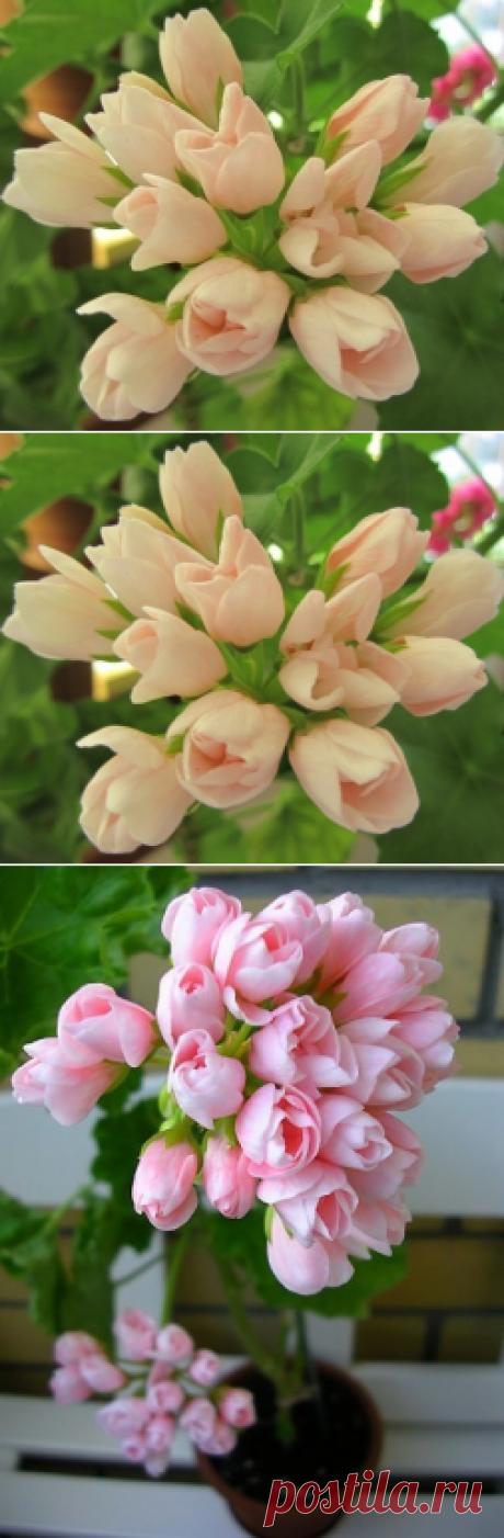 Тюльпановидная герань - Садоводка