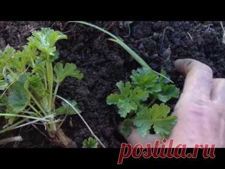 Весеннее размножение растений черенками