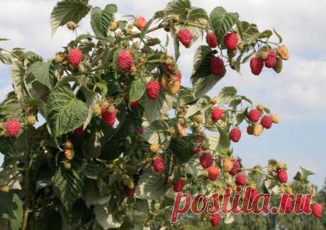Нет малины на малине или как получить небывалый урожай малины — Полезные советы