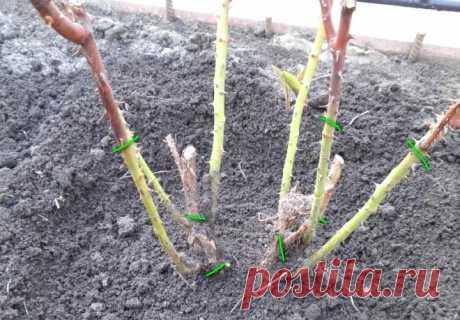 Как правильно обрезать розы в саду?