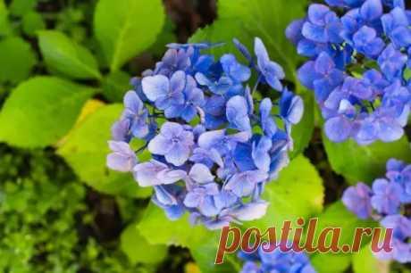 Гортензия – главные принципы выращивания - Цветочки - медиаплатформа МирТесен