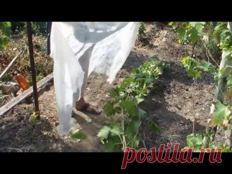 Вызревание виноградной лозы  Мероприятия