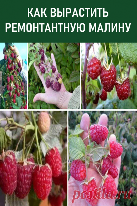 Как вырастить ремонтантную малину? Сегодня речь пойдет о ремонтантной малине. Осенью она может дать хороший урожай, а также порадовать удивительной красотой. #дача #сад #огород #малина #ремонтантнаямалина