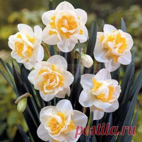 Все о посадочных материалах и декоративных растениях! ФЛОРИУМ – Нарциссы махровые. Сайт о посадке, выращивании и уходу за цветами.