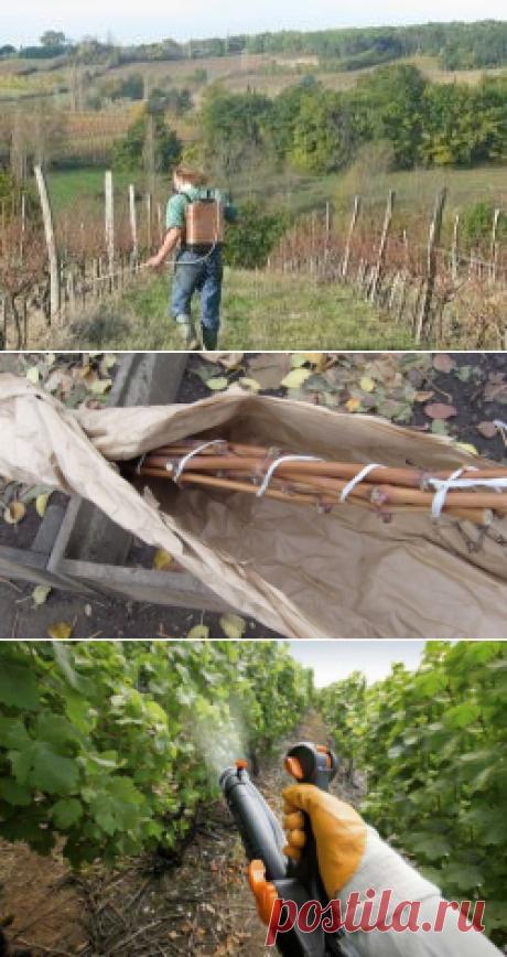 Обработка винограда весной от болезней и вредителей: чем и когда обрабатывать, схемы, рецепты, фото, видео