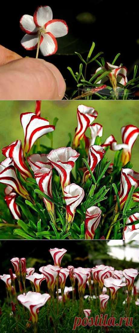 Необычный цветок: Кислица пестроцветная .