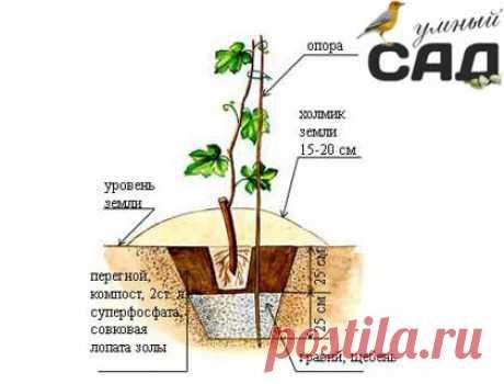 Como sentar la uva en primavera y el otoño: poshagovoe la dirección y las clases maestras