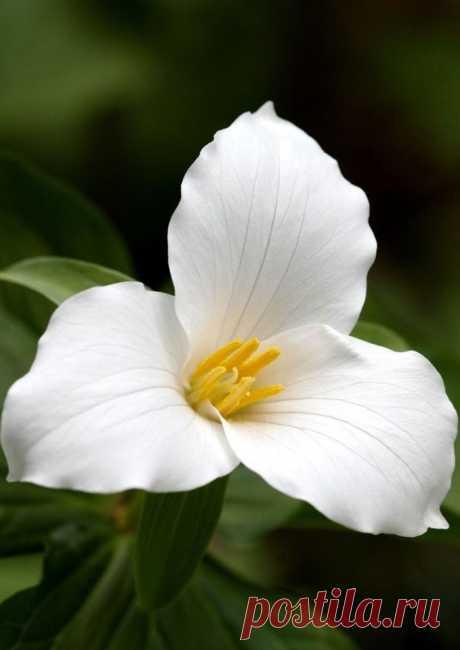 Триллиум крупноцветковый (Trillium grandiflorum)  |  Ботанический сад • Тверь - Публикации