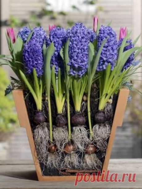 Многослойные посадки луковичных первоцветов в одном кашпо — 6 соток