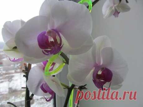 Почему я погружаю орхидеи, а не поливаю из лейки - давно отказалась! | Секреты сада. Дача, цветы | Яндекс Дзен