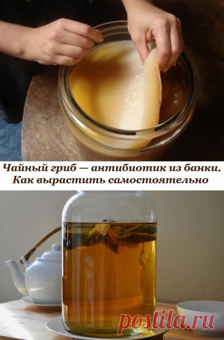 La seta de té. Como criar