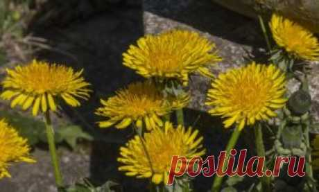 Recipes of health: a dandelion from diseases of joints
