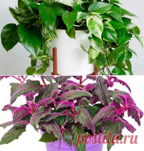 Каталог ампельных комнатных растений с фото и названиями