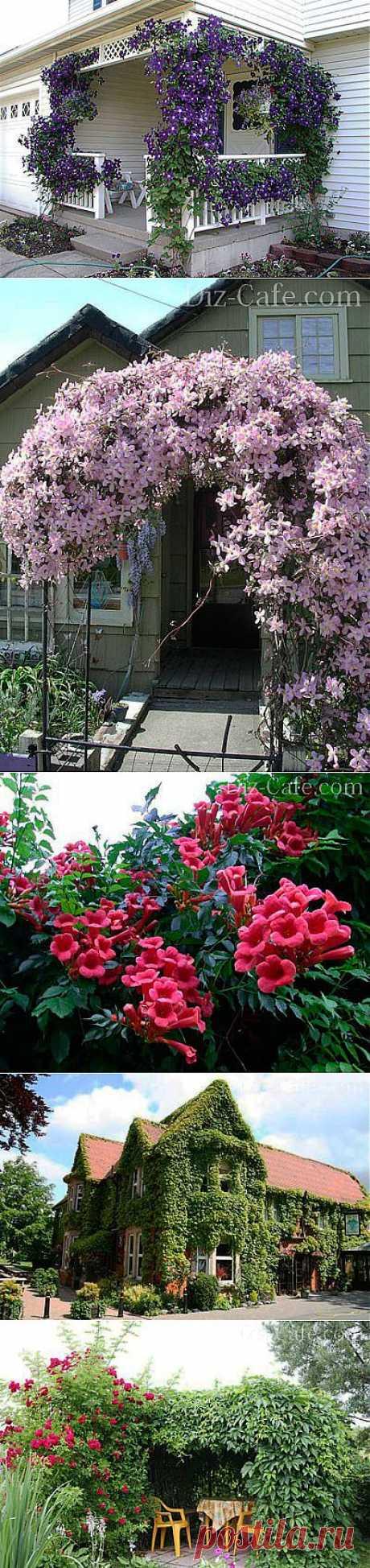 Декоративные лианы для сада - многолетние и однолетние варианты