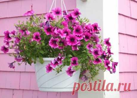 8 красивых ампельных растений для сада | Летники (Огород.ru)