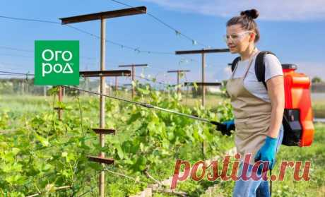 Как защитить виноград от болезней и вредителей | Виноград (Огород.ru)