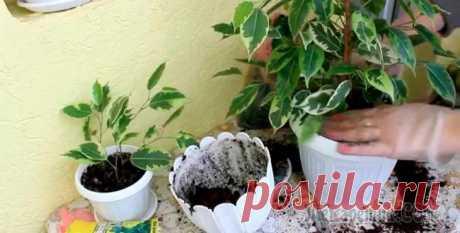 Пересадка фикуса в домашних условиях Фикус — популярное и неприхотливое комнатное растение, которое насчитывает около 800 видов.Горшок с фикусом лучше поставить в освещенном месте. Растениям будет неплохо и при небольшом затенении. Окна,...