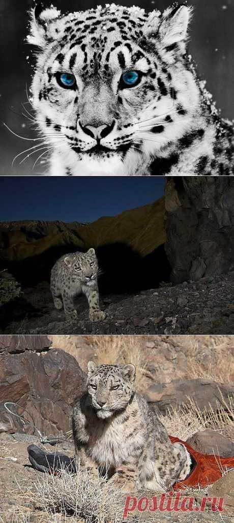Лучшие фотографии со всего света - Снежный леопард в природе