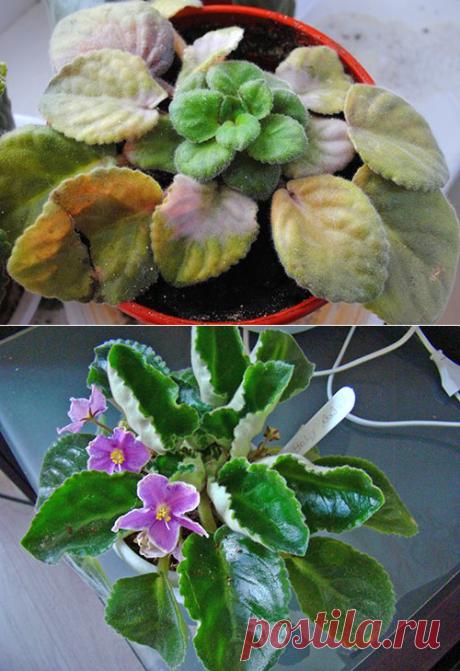 Como ayudar la violeta, si a ella se ponen amarillo las hojas