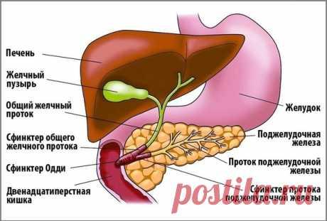 Лечим поджелудочную и желчный.  Иногда у человека возникает воспаление сразу двух органов - желчного пузыря (холецистит) и поджелудочной железы (панкреатит). Такое совместное воспаление происходит потому, что каждый их этих органов вырабатывает и выводит в 12-ти перстную кишку свои вещества (желчный - желчь, поджелудочная - ферменты), но дело в том, Показать полностью...