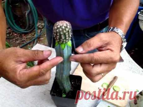 Grafting Echinomastas intertexus by Cactus-old