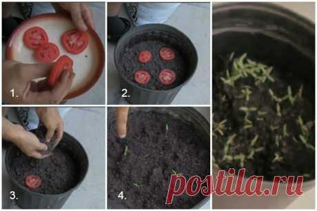 Сажаю томаты под зиму из вызревших помидор – для отменной рассады весной