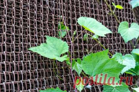 Шпалера для винограда своими руками: фото, чертежи, советы