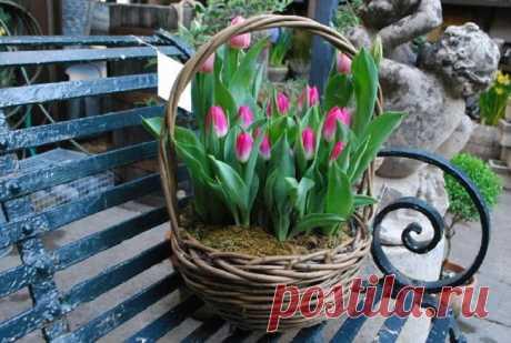 Особенности посадки тюльпанов